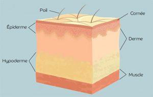 Les différentes couches de la peau
