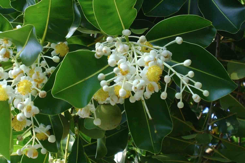 Huile végétale de Calophylle inophyle ou de Tamanu