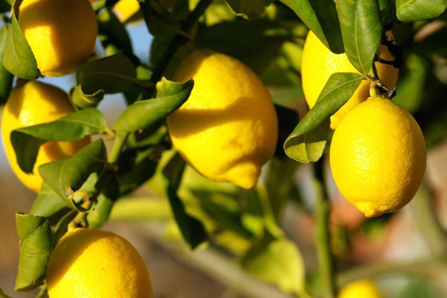 L'essence de citron, un antiseptique indispensable