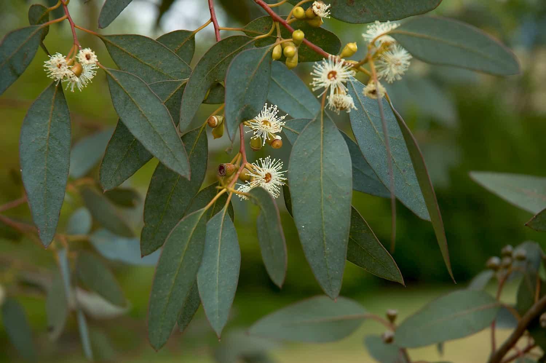 Huile essentielle d'Eucalyptus radié, le vics vaporub naturel