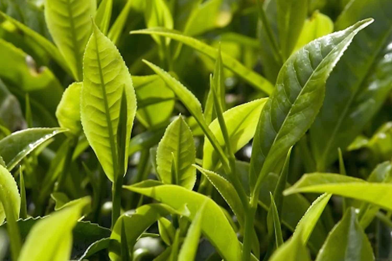Huile essentielle de Tea tree ou arbre à thé anti-infectueuse