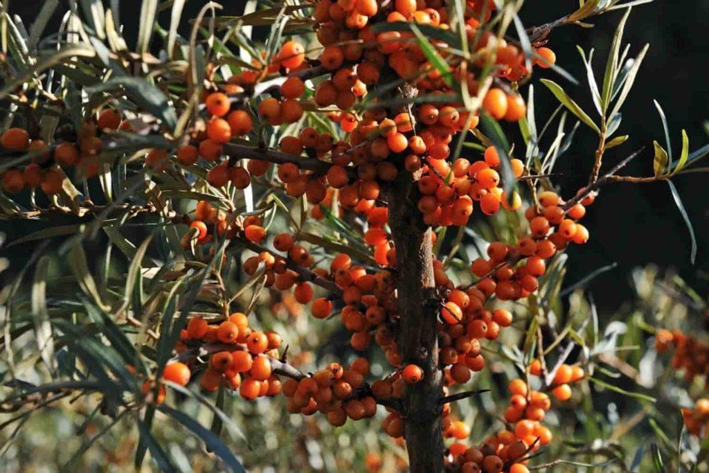 Huile végétale d'Argousier anti-oxydante