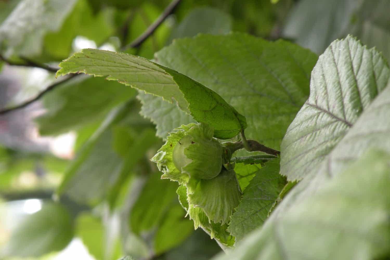 L'huile végétale de Noisette ultra-pénétrante